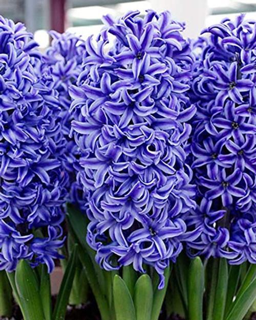 Monastery Incense - Hyacinth