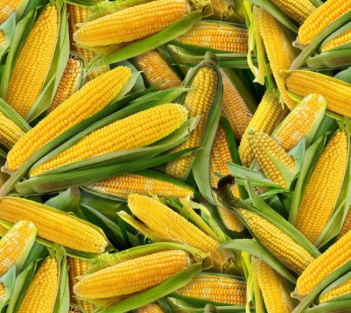 TOSSED EARS OF CORN WITH HUSKS FABRIC - 435Yellow