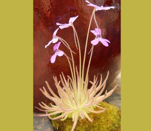Pinguicula gypsicola - Carnivorous plants for sale