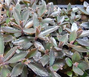 Kalanchoe sp. - Carnivorous plants for sale