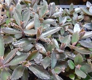 Kalanchoe sp. - Carnivorous plants for sale