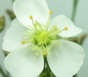 Drosera binata flower