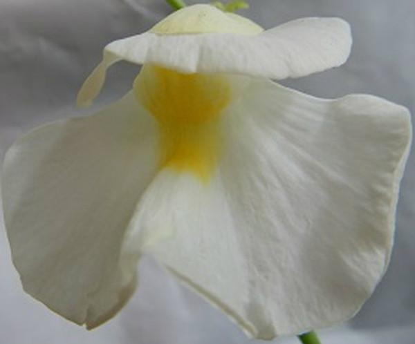 Utricularia alpina x endressii Flower