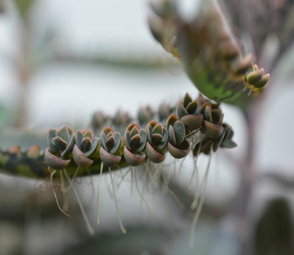 Carnivorous plants for sale - Kalanchoe sp.