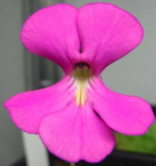 Pinguicula ehlersiae - Carnivorous plants for sale
