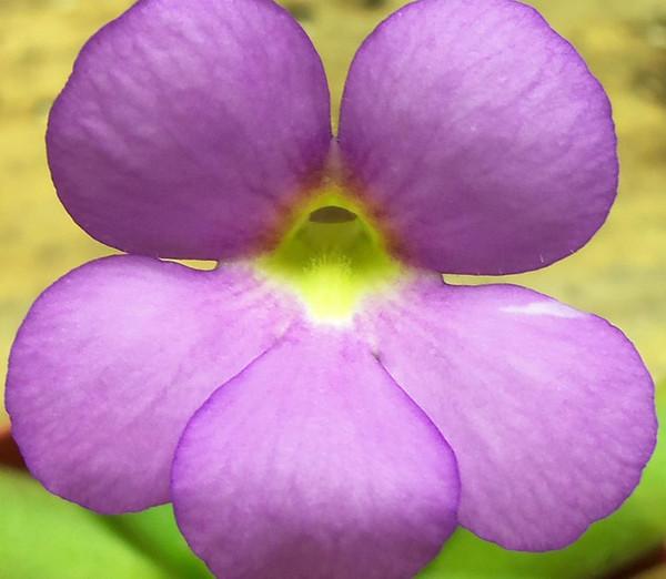Pinguicula Aphrodite Flower