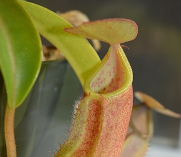 Nepenthes (Highland)