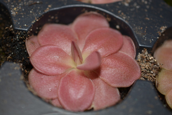 Young Pinguicula 'Weser'