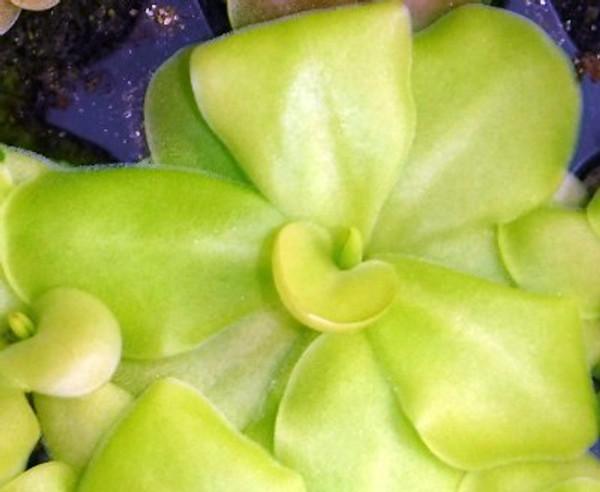 Pinguicula moranensis x gigantea - Carnivorous Plants for Sale