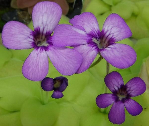 Carnivorous Plants for Sale - Pinguicula moranensis x gigantea