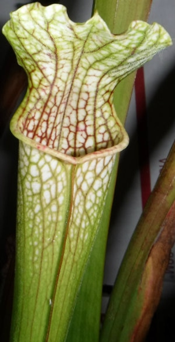 Sarracenia 'Tapestry' x ('Leah Wilkerson' x leucophylla)