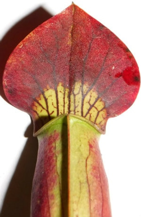 Sarracenia alata Purple Top