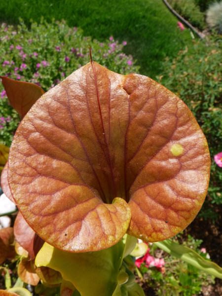 Sarracenia Photos