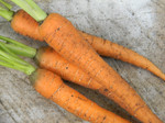 Imperator 58 Carrots South GA Seed Co.