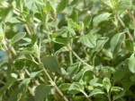 Herb Sweet Marjoram Seeds QTY. 100