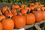 Connecticut Field Pumpkin Seeds QTY. 20