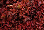 Ruby Red Lettuce Seeds QTY. 500