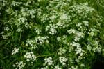 Herb Caraway QTY. 50
