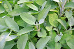 Herb Common Sage Seeds QTY. 30