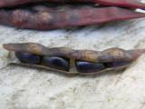 Growing the Blue Shackamaxon Pole Bean