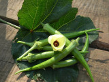 Seed Saving Stewart Zeebest Okra Seeds