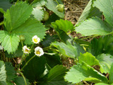 Making Strawberry Plants from Runners