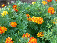 Growing Marigolds from Seed to Seed