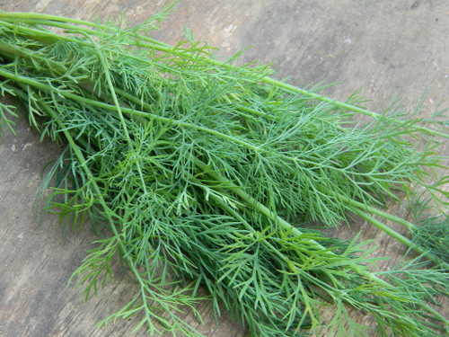 Dill Grown at South GA Seed Co.