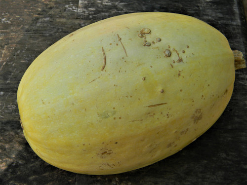 Vegetable Spaghetti Squash-Winter Squash Seeds QTY. 20