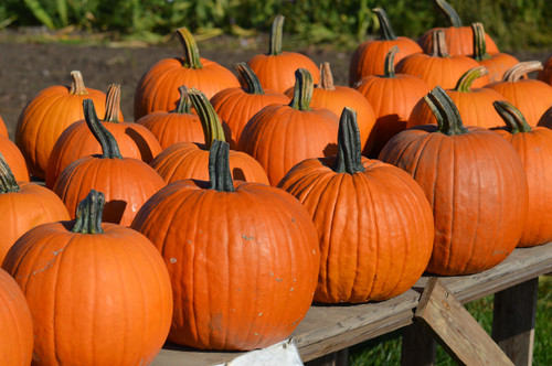 Connecticut Field Pumpkin Seeds QTY. 20