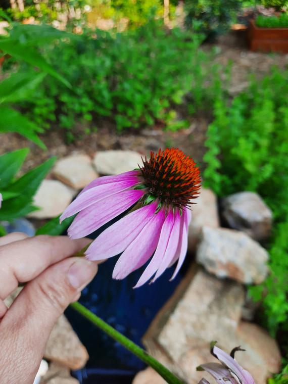 Flower Purple Cone Seeds QTY. 1 Gram