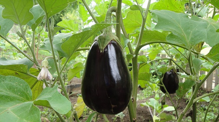 Black Beauty Eggplant Seeds QTY. 50