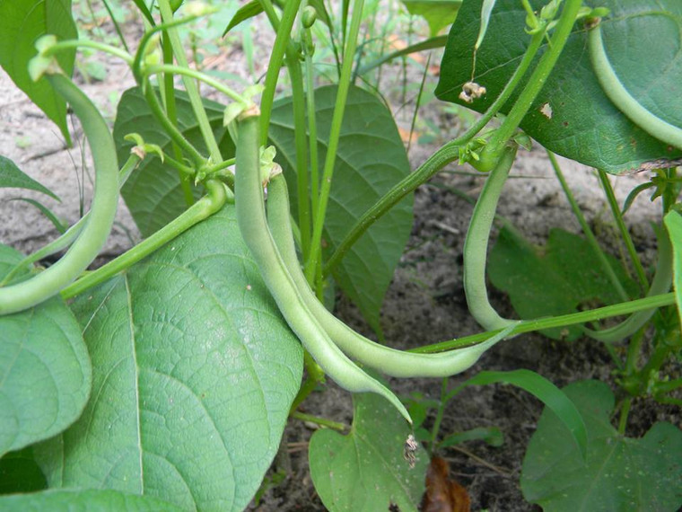 Contender Bush Bean Seeds QTY. 25