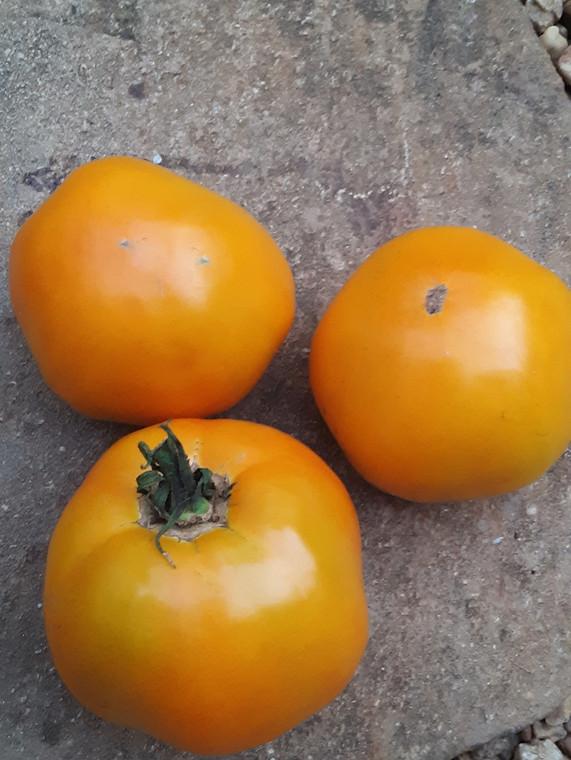 Golden Swedish Tomato Seeds QTY. 25 (Indeterminate)