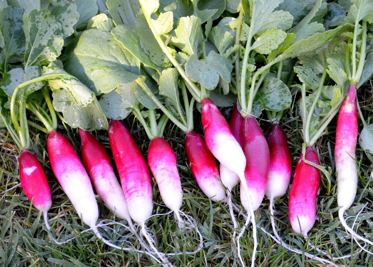 French Breakfast Radish Seeds QTY. 200