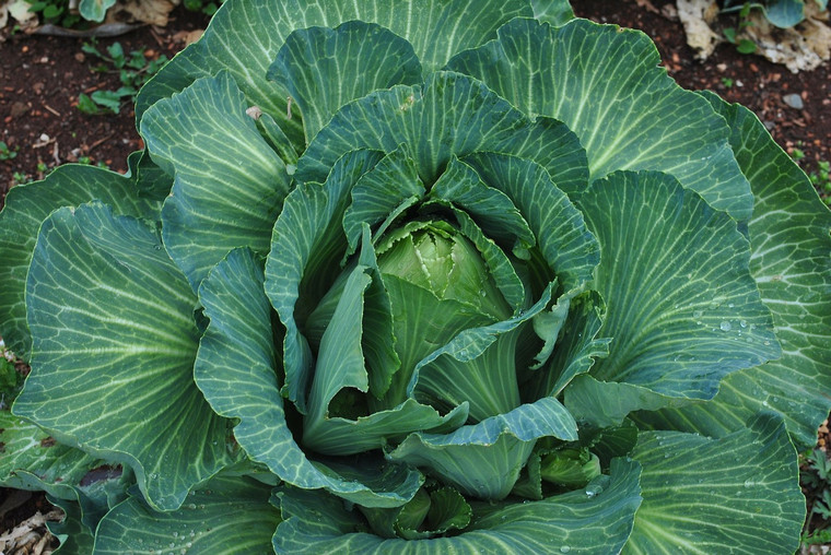 Early Jersey Wakefield Cabbage Seeds QTY. 200