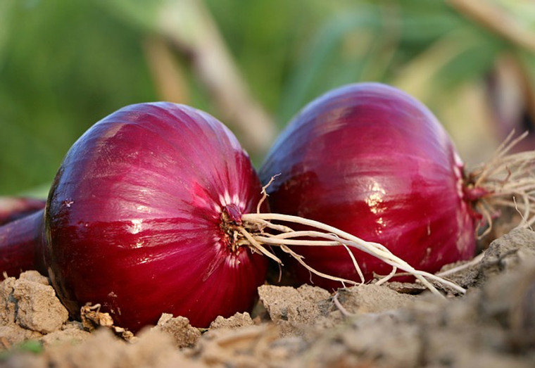 Red Grano Onion Seeds QTY. 150 (Short Day)