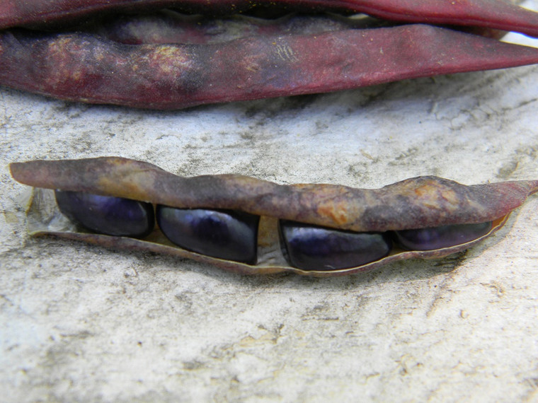 Blue Shackamaxon  Pole Bean  Seeds QTY. 20 {Very Rare Bean}