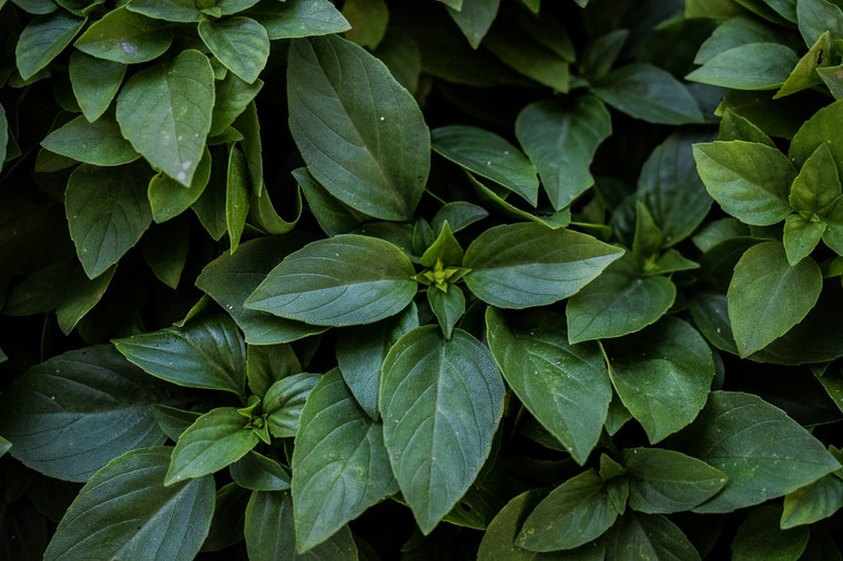Herb Basil Cinnamon QTY. 50
