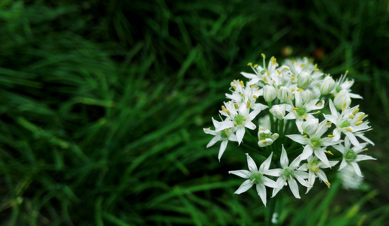 Herb Garlic Chives QTY. 50