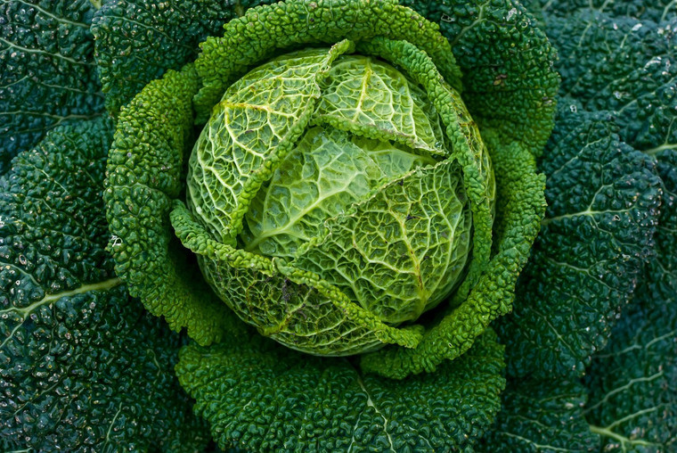 Perfection Savoy Cabbage Seeds QTY. 200