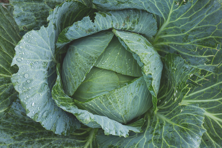 Late Flat Dutch Cabbage Seeds QTY. 200