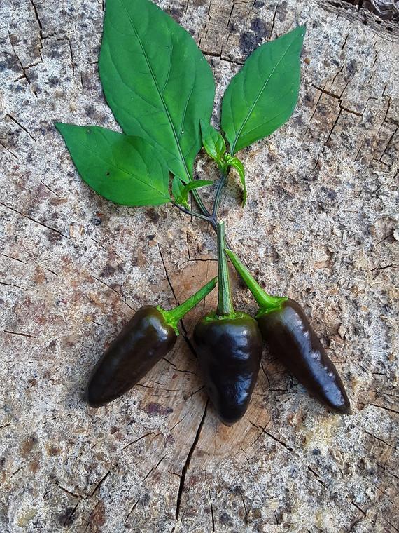 Purple Leaf Heart Pepper