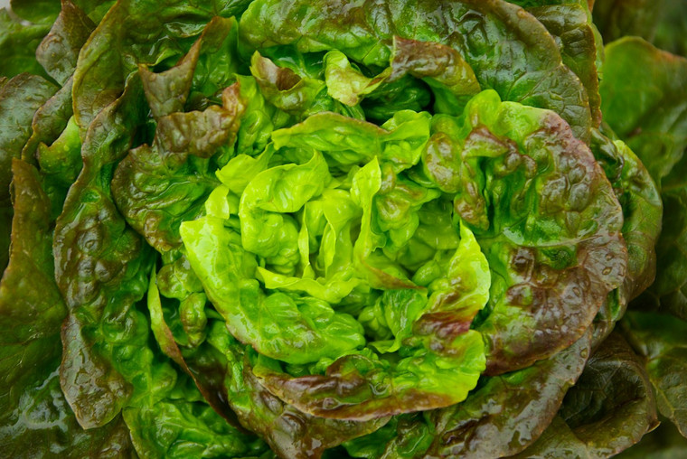 Marvel of Four Seasons Lettuce Seeds QTY. 500