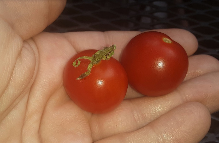 Little Red Dumpling Tomato Seeds QTY. 25 (Indeterminate)