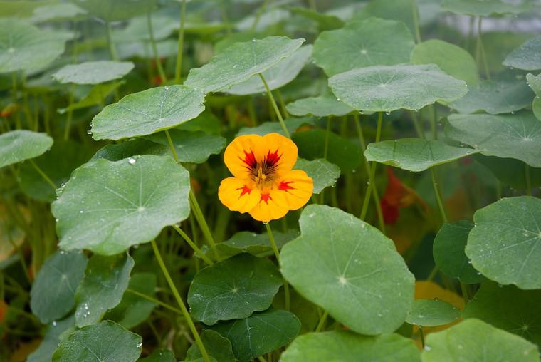 Flower Dwarf Jewel Nasturtiums QTY. 30