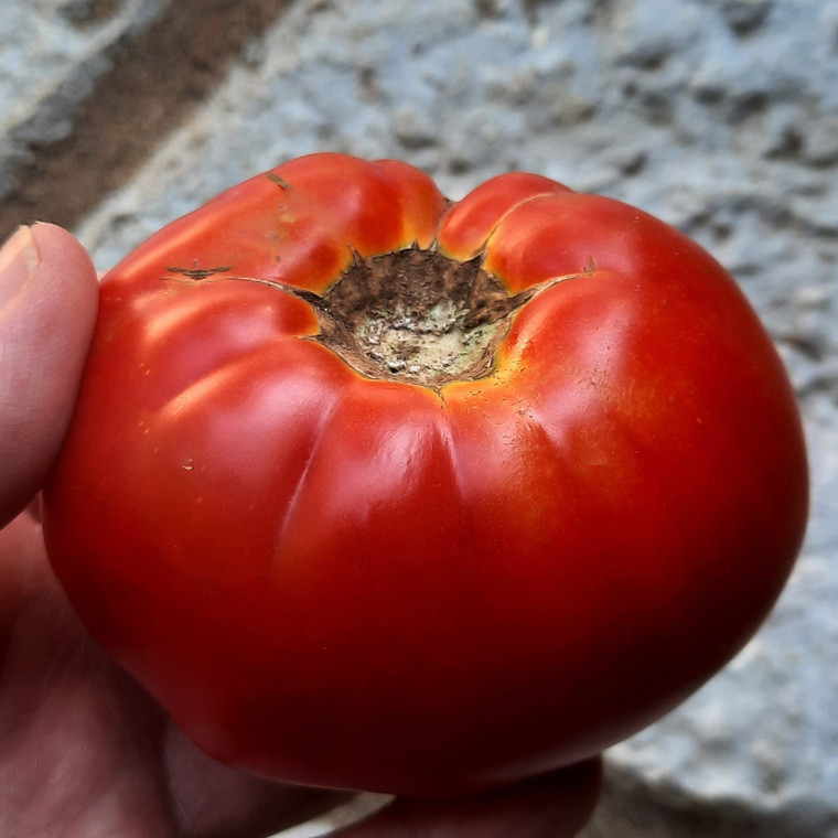 Ketchup and Mustard Tomato Seeds QTY. 25 (Indeterminate)