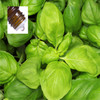 Basil Sweet Pure Essential Oil