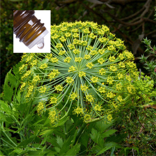 Galbanum Pure Essential Oil