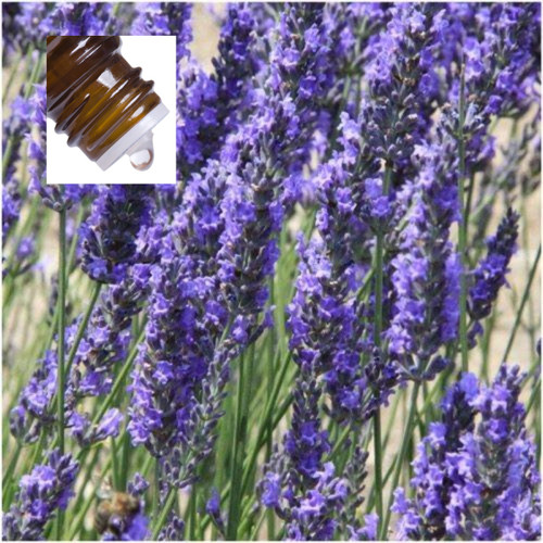 Lavender Spike Pure Essential Oil